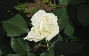 気品に満ち溢れた白バラ【ロイヤルプリンセス】@大阪 中之島バラ園