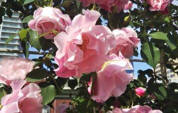 フリル咲きが美しい【スパニッシュビューティー】