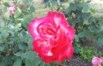 世界殿堂入りのバラ【ダブルデライト】@中之島バラ園