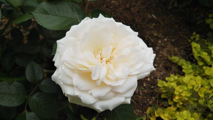 白バラ【プリンセスオブウェールズ】の売り上げの一部は英国肺病基金の活動に寄付される。
