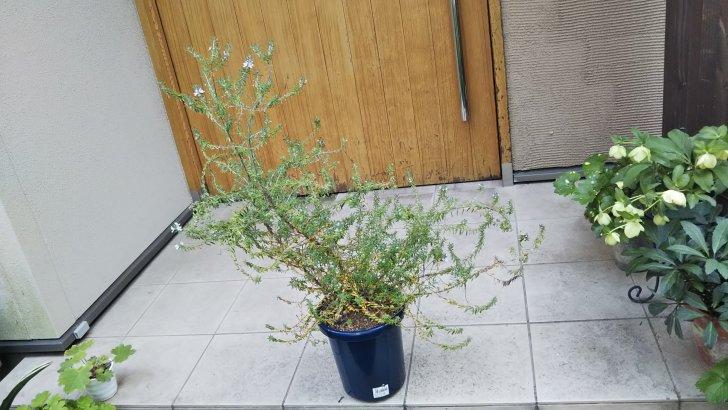 切り戻し前の鉢植えのウエストリンギア