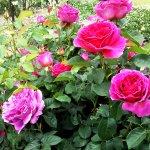 バラ【オセロ】京都府立植物園バラ園にて☺️イイネ
