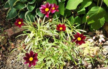 コレオプシス【マーキュリーライジング】6月の開花