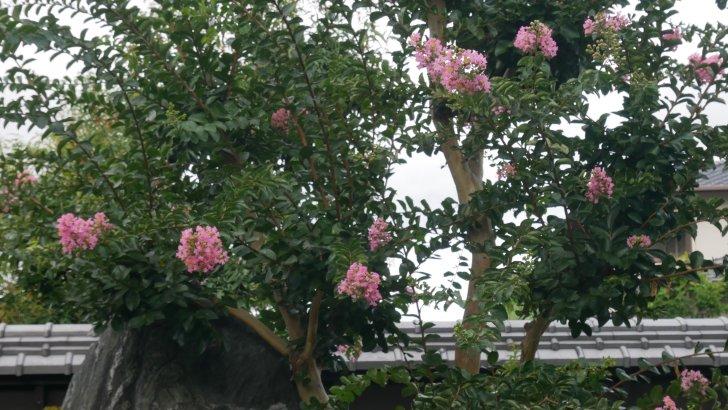 【蔵人珈琲】のシンボルツリー【サルスベリ】