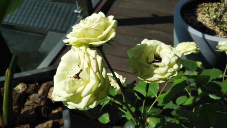 四季咲きバラは返り咲き、2番花の頃に真夏が…