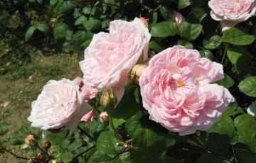 現・皇后のバラ【マサコ】中之島公園 バラ園にて☺️イイネ