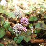 ヒメツルソバの花