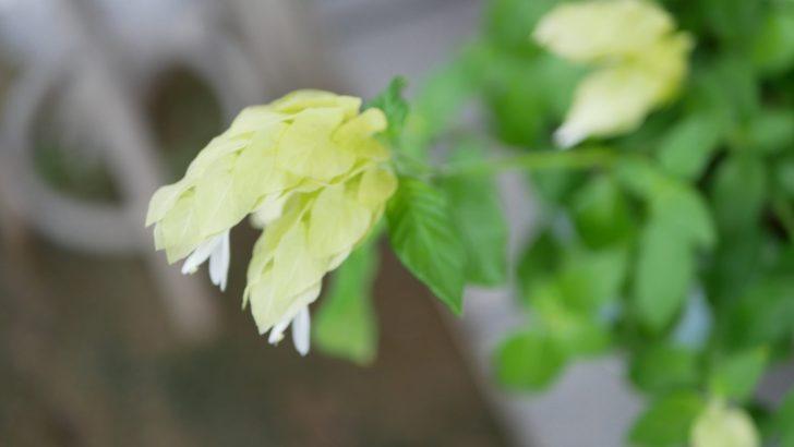 コエビソウの花。