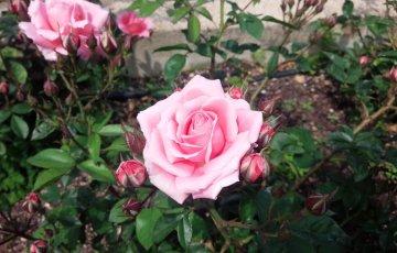 ベルギーのバラ【ファブリット】