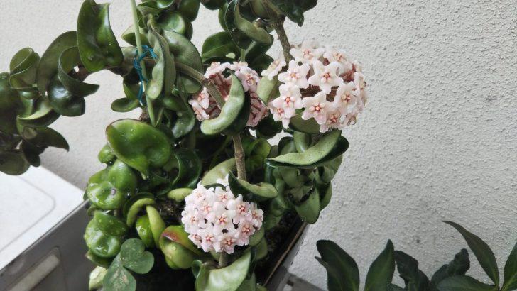 独特の花を咲かせる【サクララン】