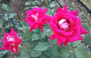 紅白のバラ【ラブ】@中之島公園バラ園