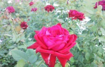 強健で育てやすいバラ【ブルグント'81】