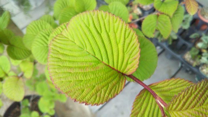 オオデマリの美しい葉姿