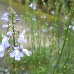 薄紫の小花が楚々として美しい!