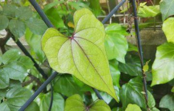 紫色の葉脈が美しい。ナガイモ?オニドコロ?