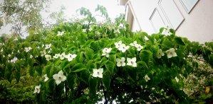 シンボルツリー【ヤマボウシ】5月中旬の姿
