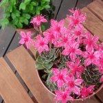 多肉植物 【グラプトペタルム・ベルム】の開花