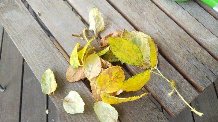 バラの葉 黄色くなった葉がぽろぽろと落葉する