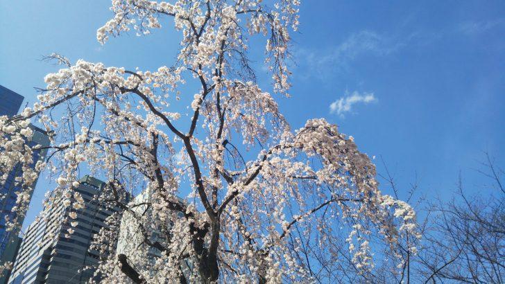 【三春桜】赤坂サカスの桜たちのシンボル