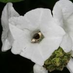 Cordia leucocephala
