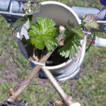 Spring temperatures affect season-long growth in grapevine - <i>Vitis vinifera</i>