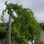 Modelling axis organogenesis in grapevine (PMA Special Issue)