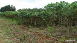 Segregating trial plots of F3 cassava crosses
