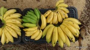 Banana genotypes