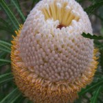 Cone age and longevity of <i>Banksia</i> seeds