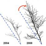 Stem uprighting in tree saplings