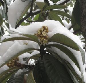 Passerine pollination in a winter-flowering tree