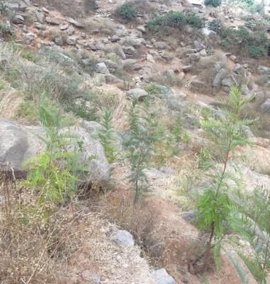Grevillea robusta plantings for erosion control on terraces above Axum