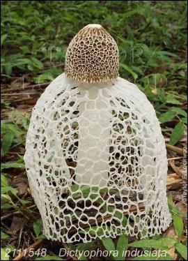 The holey veil mushroom (Dictyophora indusiata /Phallus indusiatus) by Taylor Lockwood