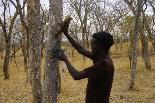 Tapping a tree for Frankincense resin.