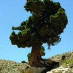 lebanon tree