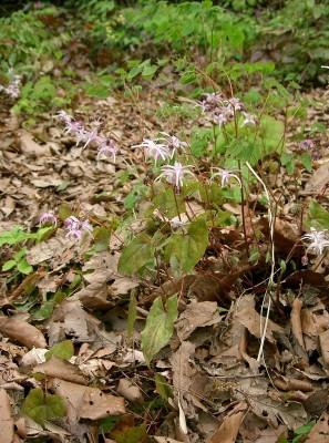 Epimedium grandiflorum var. thunbergianum