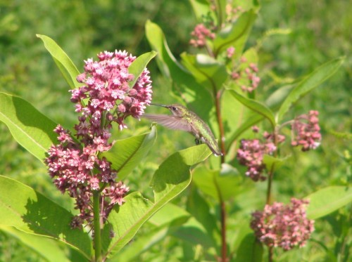 Hummingbird on common milkweed