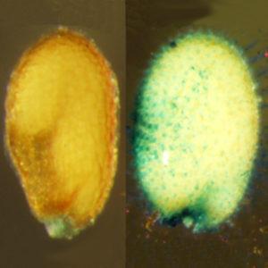 Peroxidase in proanthocyanidin-deficient arabidopsis seeds