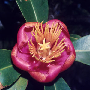 Floral structure and systematics in Malpighiales