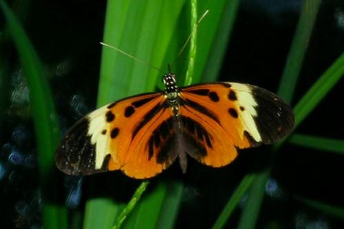 Heliconius numata tarapotensis. Photo: Drriss/Flickr