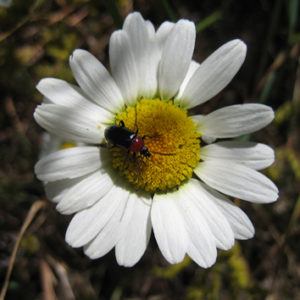 Polyploidy in Leucanthemum in the Iberian Peninsula