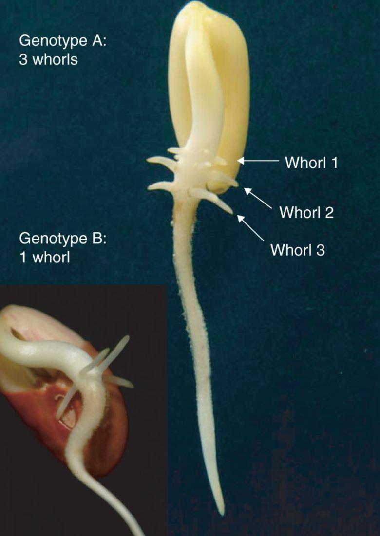Basal Root Whorl