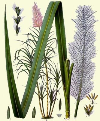 Image: Franz Eugen Köhler, Köhler's Medizinal-Pflanzen. Gera-Untermhaus, 1897.