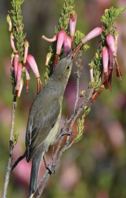 Malachite sunbird visiting subsp. plukenetii at Rooiberg. Image: Van der Niet et al.