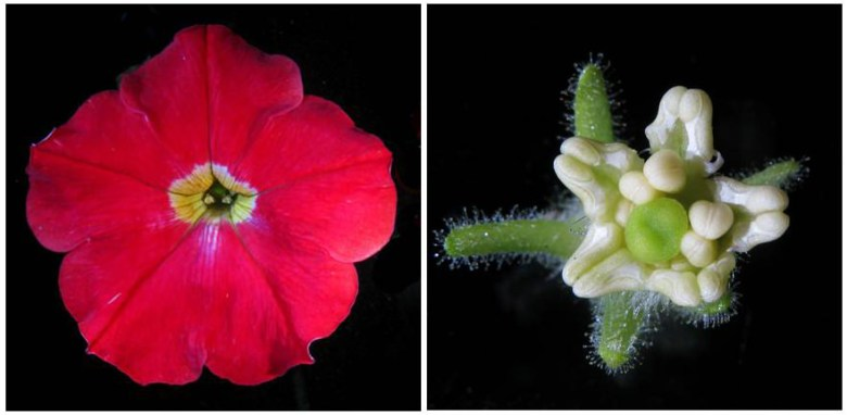 Wild-type and blind mutant flowers of the model species Petunia hybrida .