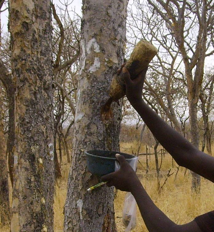 a stem of Boswellia papyrifera in Ethiopia being tapped in order to collect frankincense, a gum-resin that the tree exudes when the bark is wounded. The resin, which is an impotant source of local income, is produced and transported by a network of canals that is limited to a narrow zone within the inner bark, a fact that can help to inform and improve tapping methods. See Tolera et al.