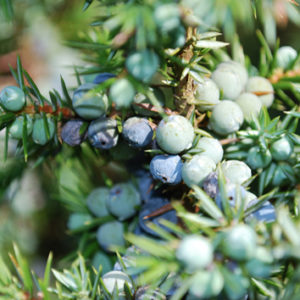 Negative effects of global change on seed viability of juniper