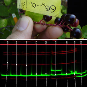 Mating dynamics in Prunus virginiana