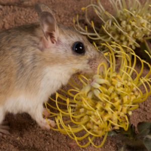 Adaptation for rodent pollination in Leucospermum arenarium
