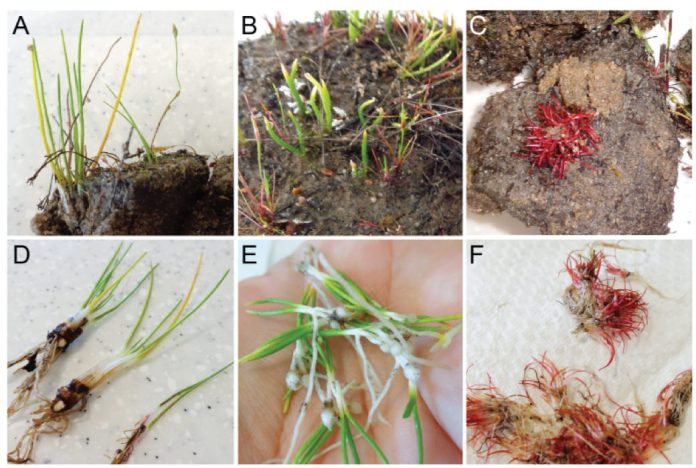 Lycophytes from the Alison Baird Reserve.